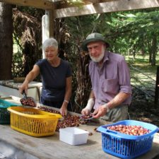 chestnut sorting