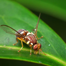 Queensland_Fruit_Fly_-_Bactrocera_tryoni